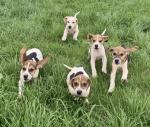 Beagle pups for sale for sale.