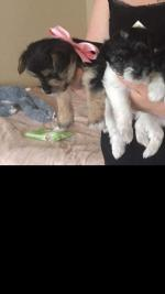 Yourkshir terrier for sale.