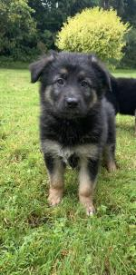 German Shepherd x Shollie Pups [sold].