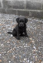 Beautful cocker spaniel cross puppies for sale.