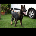 German Shepard for sale.