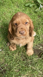 Cocker Spaniel IKC puppies for sale.