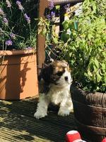 Cavatzu puppies for sale.