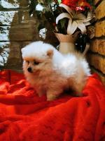 IKC Pomeranian male puppy for sale.