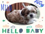 Shih Tzu Puppies Milo and Macey for sale.