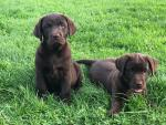 Chocolate Labrador Puppies for sale.