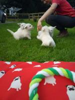 West Highland Terrier - ikc registered for sale.