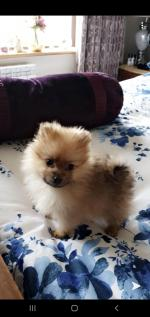 Pure Bred Pomeranian Puppies for sale.