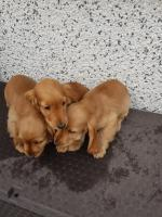 Golden cockers for sale.