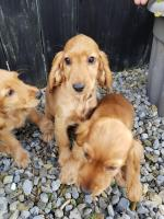 Cocker Spaniel female puppies for sale.