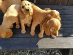 Golden cocker puppies for sale.