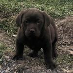 **Stunning chocolate labradors** for sale.