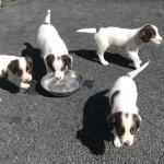 Springer spaniel One boy left and one girl two gone too 5 star homes for sale.