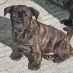 Pug/ French bulldog pups for sale.