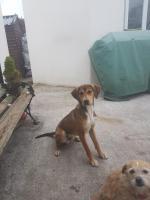 Kobe,beagle/lab for sale.
