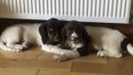 Springer spaniel puppies for sale.