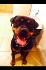 Rottweiler 1 year old male for sale [sold].