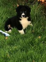 Collie Pups for sale.