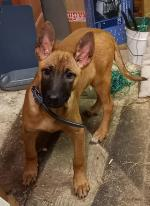 Belgian Malinois for sale.