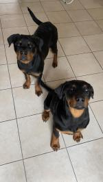Rottweilers for sale.