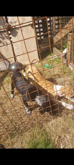 Male Cocker x terrier puppies for sale.