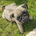 Pug pups for sale.