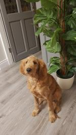 Cooper the Irish doodle for sale.