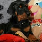 Dobermann puppies [sold].