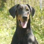 Dobermann for sale [sold].