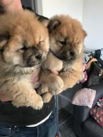 Chow chow for sale.