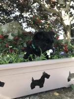 Male Scottish terrier for sale.