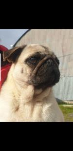 Pug Betsy for sale.