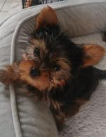 Yorkshire terrier male in Kerry for sale.