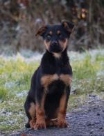 Stunning German Shepherd x Rottweiler puppies for sale.