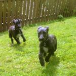 Pure Bred Scottish Deerhound Pups [sold].
