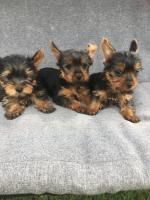 Minature Yorkshire terrier pups,IKC reg 0879947663 for sale.