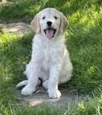 Golden doodle puppies for sale.