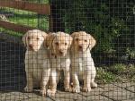 Wilson's Adventure Retriever Labrador for sale.