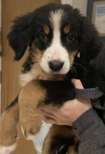 Bernese Mountain Dog in Cork for sale.