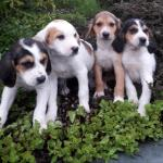 Beagles for sale.