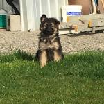 Long haired German shepherd pups for sale.