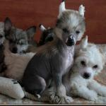 Chinese crested puppies [sold].