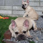 French Bulldog, registered [sold].
