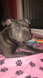 Stafforshire bull terrier for sale.