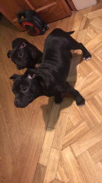 Staffordshire Bull Terrier [sold].