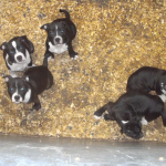Staffordshire bull terriers [sold].