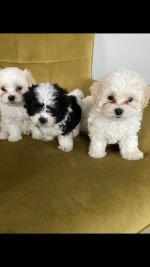 Maltipoo Tsu for sale.