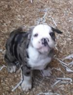 Old english bulldog for sale.