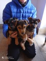 Lakeland terrier puppies for sale.