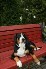 Entlebucher Mountain Dog [sold].